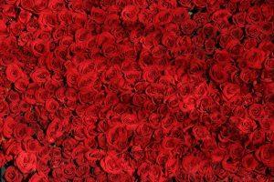 imagen rosas san valentin